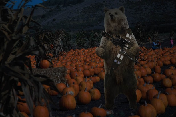 A bear, wearing a gun in a pumpking field