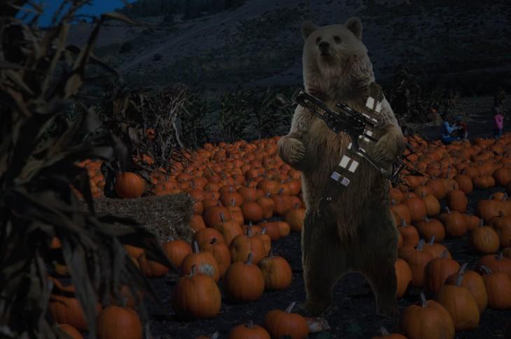 A bear, wearing a gun in a pumpking field