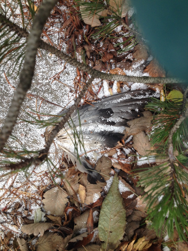 Findings for the dead animals. No body, just wings. Did it lost them?